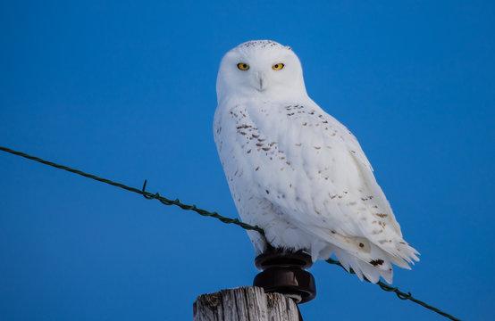 snowy owl in sunshine