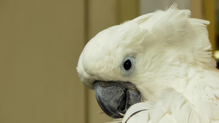 Close up of an uncaged white cockatoo (Cacatua alba) with ruffled plumage bending over, preening with feather in it's grey beak. Black eye. Comic indoor image of bird. England.