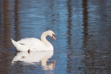 Mute Swan on a Morning Swim