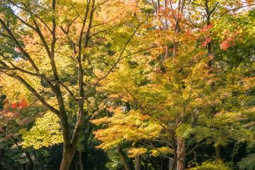 Back lit trees at Kiyomizu Garden in autumn.
