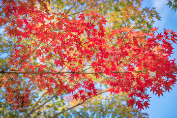 Red maple leaves against the sky in autumn on a branch at Kiyomizu Garden in Kyoto, at the famous buddhist temple on Mount Otowa, Japan.