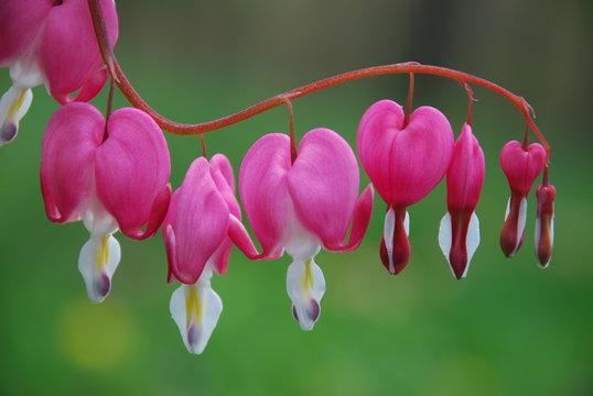 bleeding heart in spring