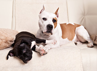 American Staffordshire Terrier puppy and his mother lying on the white couch