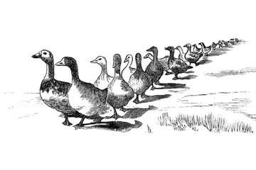 Ducks - Vintage Engraved Illustration, 1894