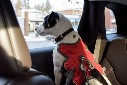 Dog in car wearing dog seat belt pet safety and transportation concept