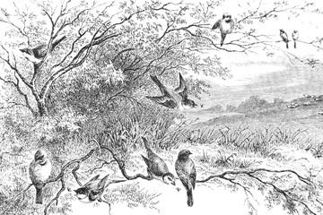 Representation of birds on branches - Vintage Engraved Illustration, 1894