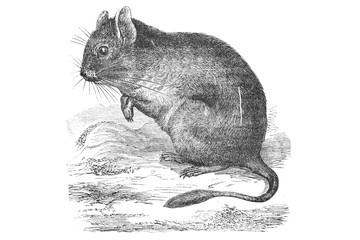 baby mouse - Vintage Engraved Illustration, 1894
