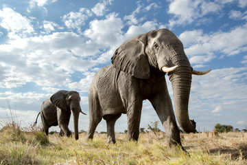 Foto op Plexiglas Olifant Low angle of a passing Elephant