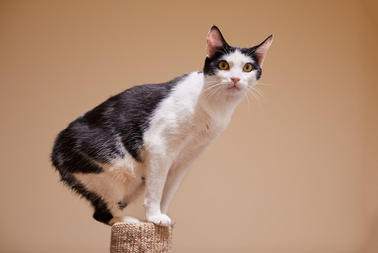 A playful young black and white Manx cat is sitting on the top of a scratching post
