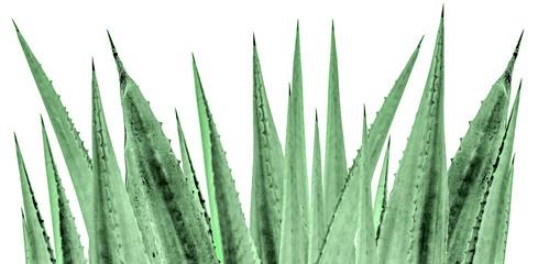 Feuilles épineuses d'agave