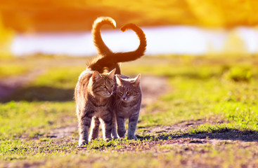 Papiers peints Chat a pair of cute lovers striped cat walking on a Sunny path in a warm spring garden twisting their tails in the heart
