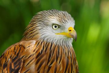 Red Kite (milvus milvus) close up portrait Fototapete