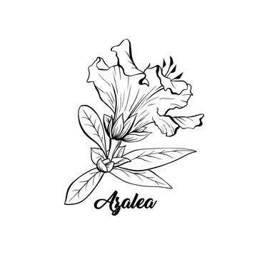 Azalea, ericaceae japonica flower hand drawn illustration. Beautiful blooming plant ink pen sketch. Freehand outline floral blossom engraving. Greeting card monochrome isolated design element