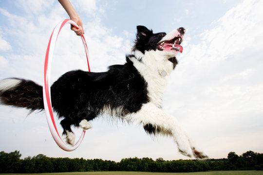 A Sheepdog jumping through a hoop