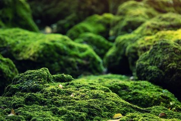 Beautiful Bright Green moss grown up cover the rough stones and on the floor in the forest. Show with macro view. Rocks full of the moss texture in nature for wallpaper.