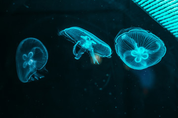 Glowing jellyfish close-up in the aquarium blue color Wall mural