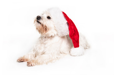 A West highland white terrier Dog Isolated on White Background in studio with santa hat