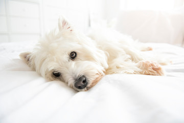 Dog photo shoot at home. Pet portrait of West Highland White Terrier dog lying on bed