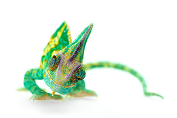 Photo sur Aluminium Cameleon funny close view of a beautiful green colorful chamaeleo calyptratus looking you. Species also called veiled, cone-head or yemen chameleon.