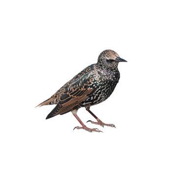 The common starling (Sturnus vulgaris), isolated on white background