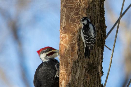 Pileated woodpecker vs downy woodpecker