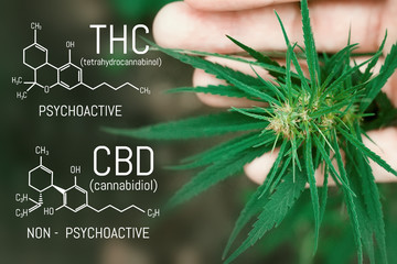 CBD cannabis formula. Cannabidiol molecule. Has antipsychotic effects. Medical hemp oil concept. Beautiful background green cannabis flowers copy space