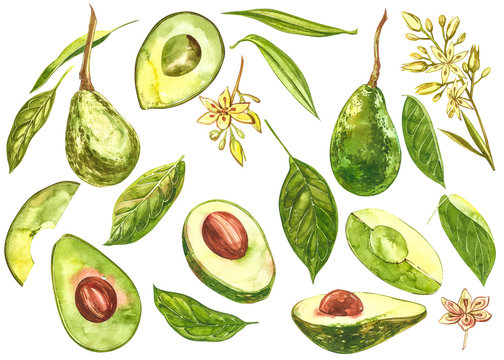 Avocado watercolor hand draw illustration isolated on white background.
