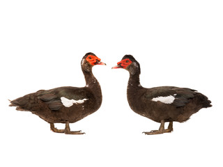 two Muscovy duck isolated