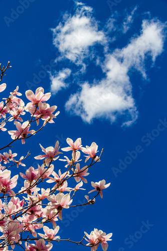 April White Pink Flowers Of Magnolia Soulangeana Saucer Magnolia