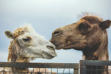 Two camels portrait.