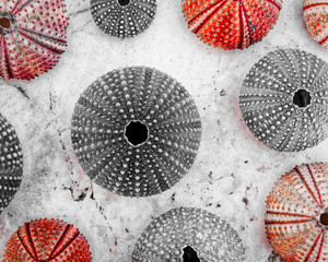 sea urchin shells in black, white and red,  filtered image