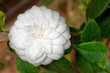 pale white Camelia flower closeup in the garden, blurred background