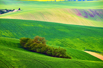 Spring fields. Green waves. Natural Rural Landscape