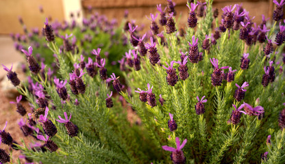 Lavender Plant Blooming in Spring