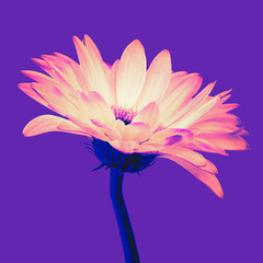 Trendy colored bright orange gerbera flower isolated on a purple background with clipping path. Closeup. Vaporwave, retrovawe, neon colors