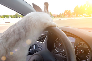 Rabbit drives a car, he is at the driver`s seat behind the steering wheel. Hare driver.. White Easter bunny rides to give gifts. Rabbit in the car