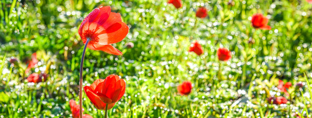 Poppy Flower, Sunny Spring Meadow, Green Grass