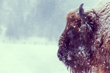 Fototapeta European bison (Bison bonasus) on a snowy day in natural habitat
