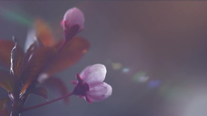 Wall Mural - Beautiful Spring pink Cherry tree flowers blossom timelapse, extreme close up. Flower open, Time lapse of Easter fresh blossoming cherry closeup. 4K UHD video