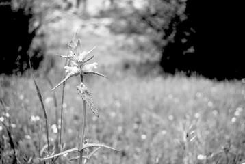 blanco y negro de una flor en un precioso campo
