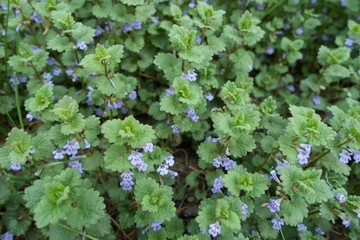 Funnel shaped violet flowers of Glechoma hederacea
