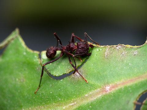 Red ant cutting a leaf (macro). Cordoba, Argentina.