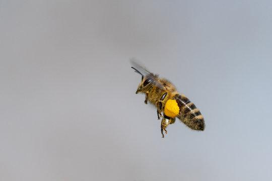 Biene im Flug mit Pollen vor blauem Hintergrund