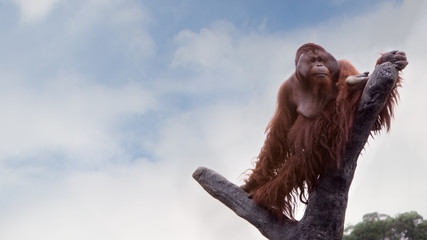 A Bornean orangutan, Pongo pygmaeus, climbed up to the top of the tree with blue sky