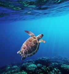 Hawksbill Sea Turtle swiming in underwater