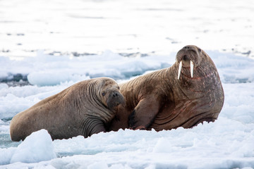 Poster Pole Mother and Calf Walrus