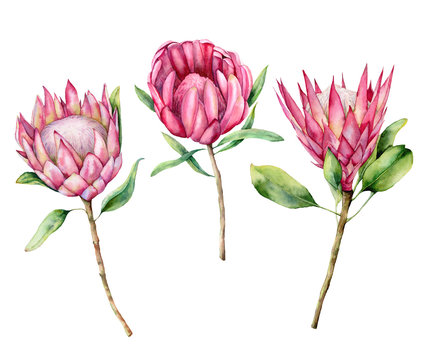 Watercolor three protea set. Hand painted pink flower illustration with leaves and branch isolated on white background. Nature botanical illustration for design, print. Realistic delicate plant.