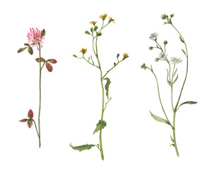 Set of watercolor meadow plants isolated on white background. Hand drawn illustration. Summer field flowers