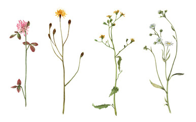 Set of watercolor meadow plants isolated on white background. Field flowers. Watercolor hand drawn illustration.