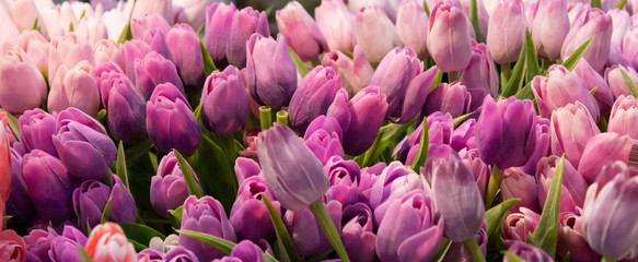 Group of pink tulips with leaves with narrow focus